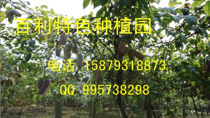 供应高产——高质——八月瓜(中华肾果)种苗