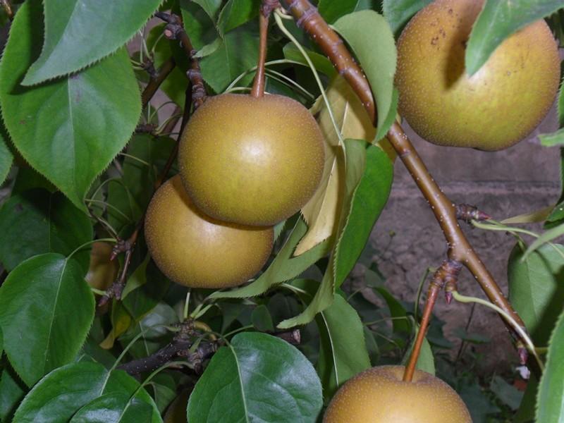 梨树苗木简介梨树苗木是果树苗木的一种,一般培育至50厘米左右梨树