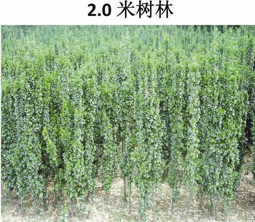 北海道黄杨供应,北海道黄杨绿化树,北方四季常青树