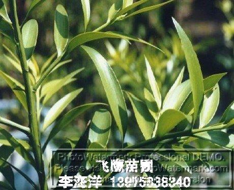 公司经营的主要产品有红豆杉小苗和红豆杉树,实生红枫,樱花,紫薇,紫荆