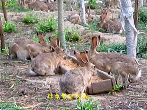 供应 野兔的价格野兔养殖利润