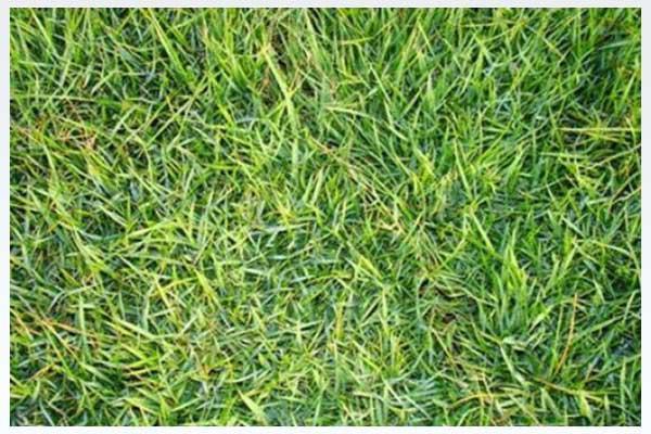 惠州草皮批发 马尼拉草 大叶油草 绿地草