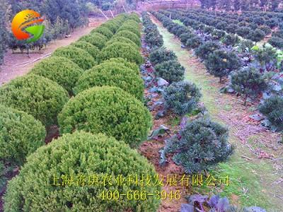上海善庚农业科技发展有限公司不仅能提供高质量的绿化工程苗木,营造