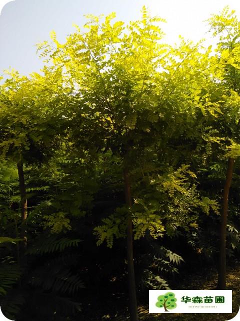 是优良的城市绿化风景林绿化及公路绿化树种.