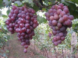 盛产大量的绿色无公害水果,自然果等哈密瓜,苹果,酥梨,西瓜,葡萄,冬枣