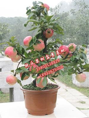 苹果盆景养护-保定艳永果树盆景种植有限公司