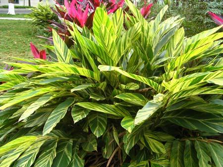 桂花|鸭脚木|六月雪|变叶木|黄心梅等乔灌木植物