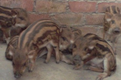 野猪种_野猪种供应野猪种公司