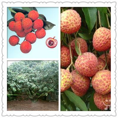 果实圆球形,果壳浅红色,薄而脆;龟裂片突起小而尖,刺锋尖锐刺手,从蒂