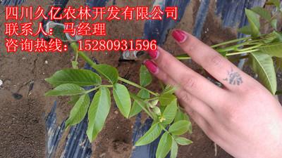 四川省绵阳久亿农业科技有限公司,是专门从事核桃苗嫁接,优良