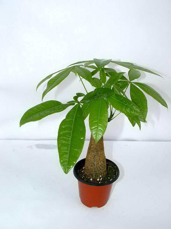 发财树常见病害的简单处理方法|花卉租赁