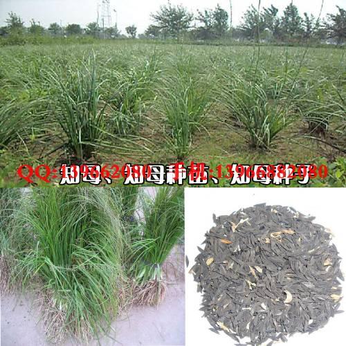 野生薏米树图片