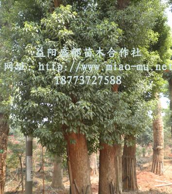 树皮幼时绿色,平滑,老时渐变为黄褐色或灰褐色纵裂;冬芽卵圆形.