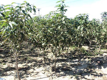 供应樱桃树大樱桃树3 5公分樱桃树图片